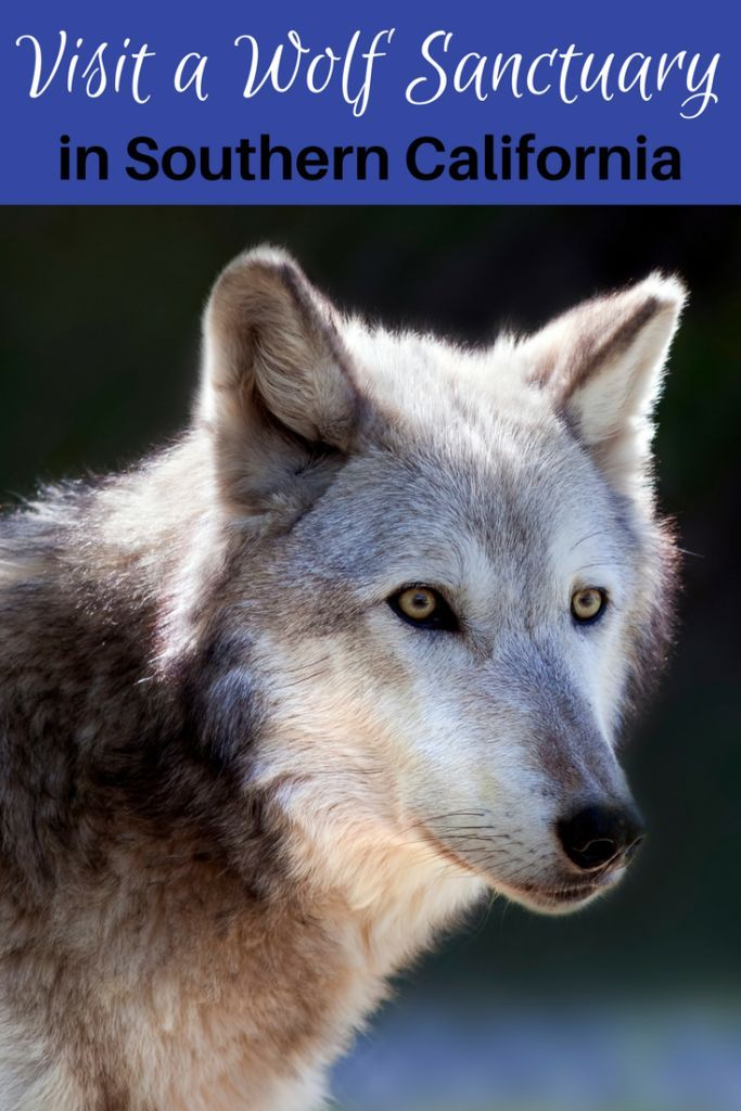 Are you an avid animal lover? Check out this list of where to see and learn about wolves in Southern California. There are several wolf sanctuaries open to the general public from Los Angeles all the way down to San Diego.
