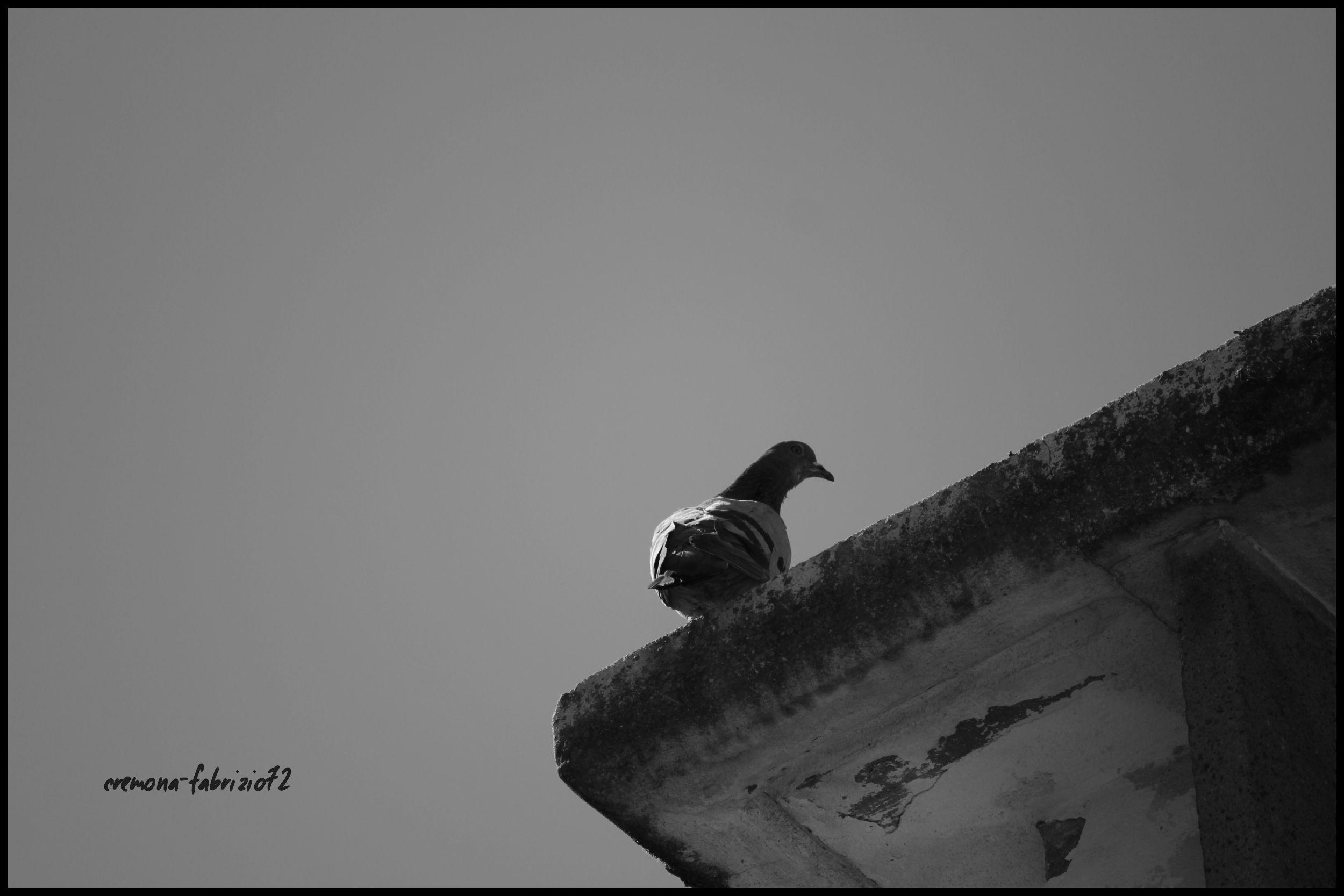 un piccione