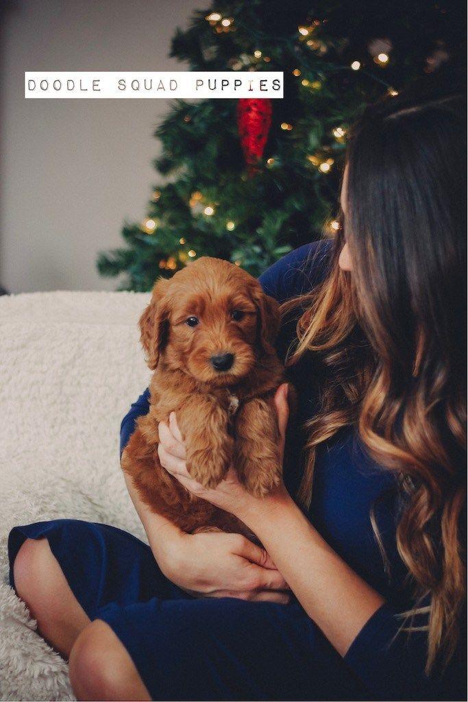 golden doodle puppies for sale columbus ohio