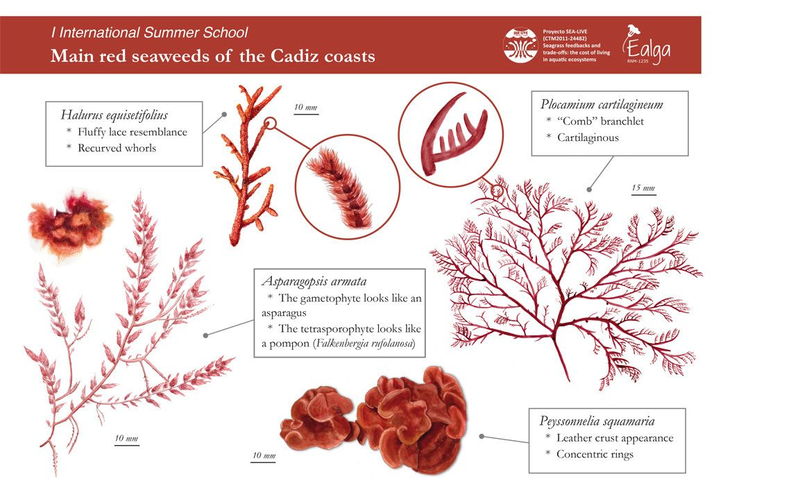 Red algae diagram medulla diy enthusiasts wiring diagrams red algae diagram product wiring diagrams u2022 rh wiringdiagramapp today red algae cell diagram phaeophyta brown ccuart Image collections