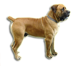 Tigerberg Boerboel Breeders From South Africa Strive To Breed Boerboels That Are True To Type And With Excellent Temperament Boerboel Dog Lover Gifts Mastiffs