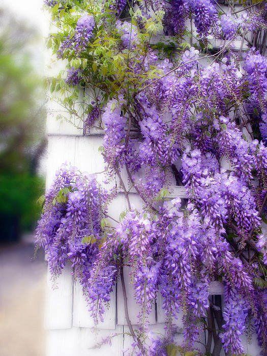 28++ Planta enredadera con flores moradas trends