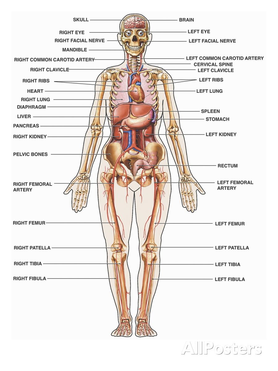 Human Body Picture With Organs Human Anatomy Study Human Body