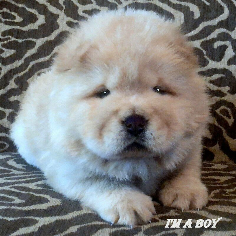 Chow Chow Puppies For Sale Akc Registered Dogs Puppies For