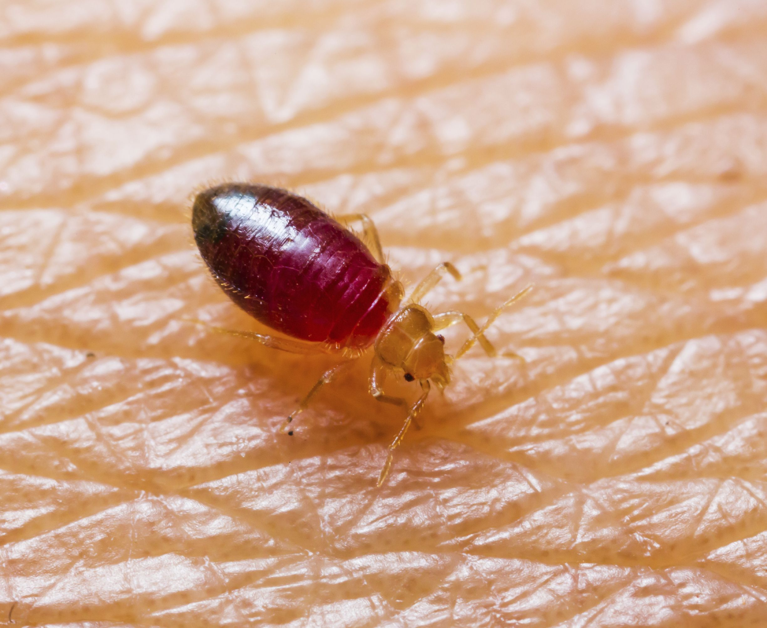 Can Bed Bugs Make You Sick? Terminix Blog What Bit Me