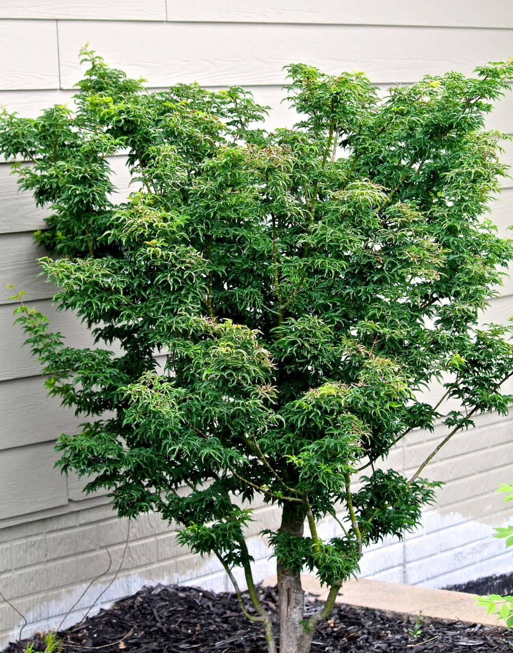 Acer Palmatum Shishigashira Japanese Maples