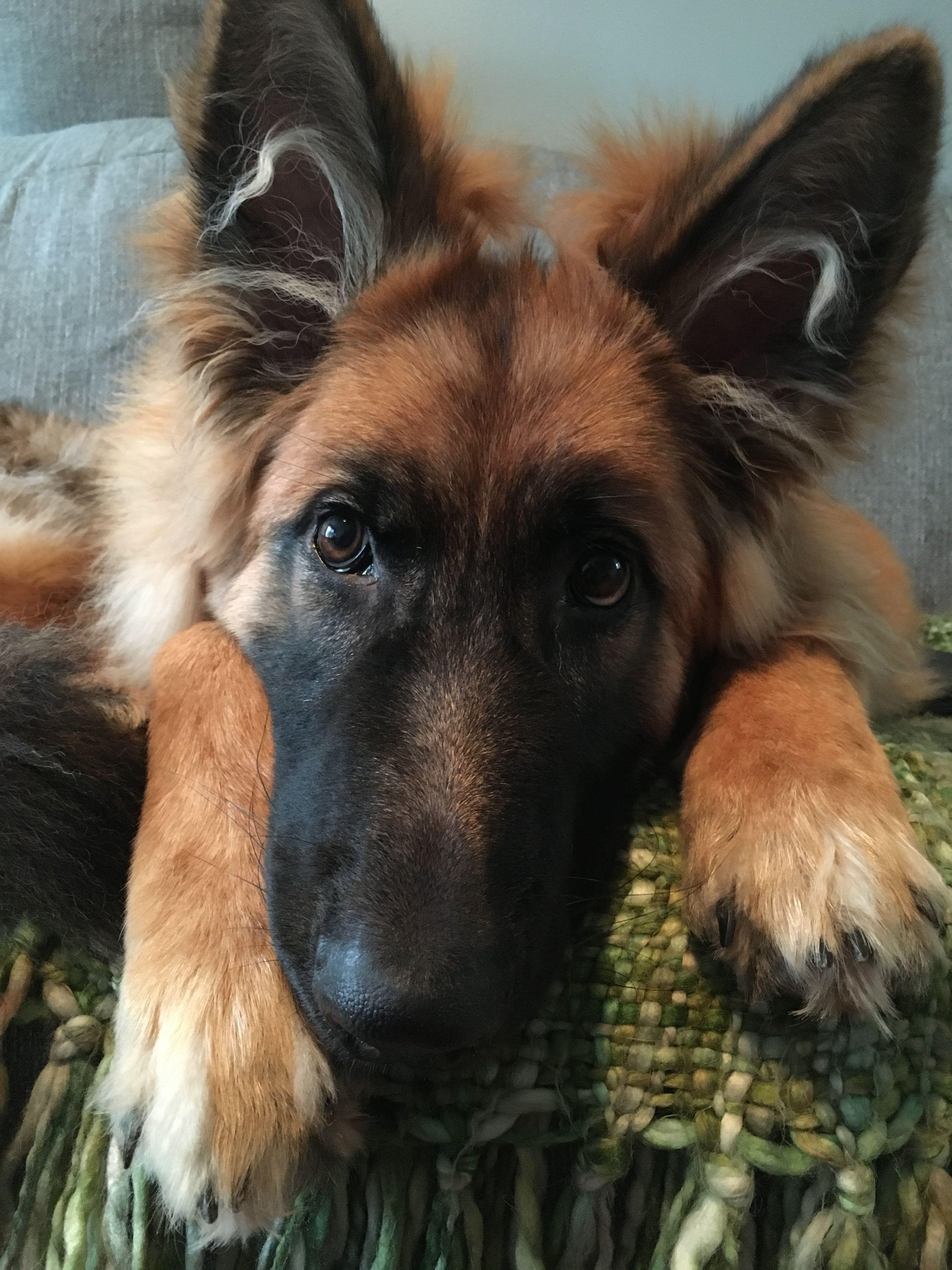 Pin By Izzy Sickles On Cute Animals German Shepherd Dogs German