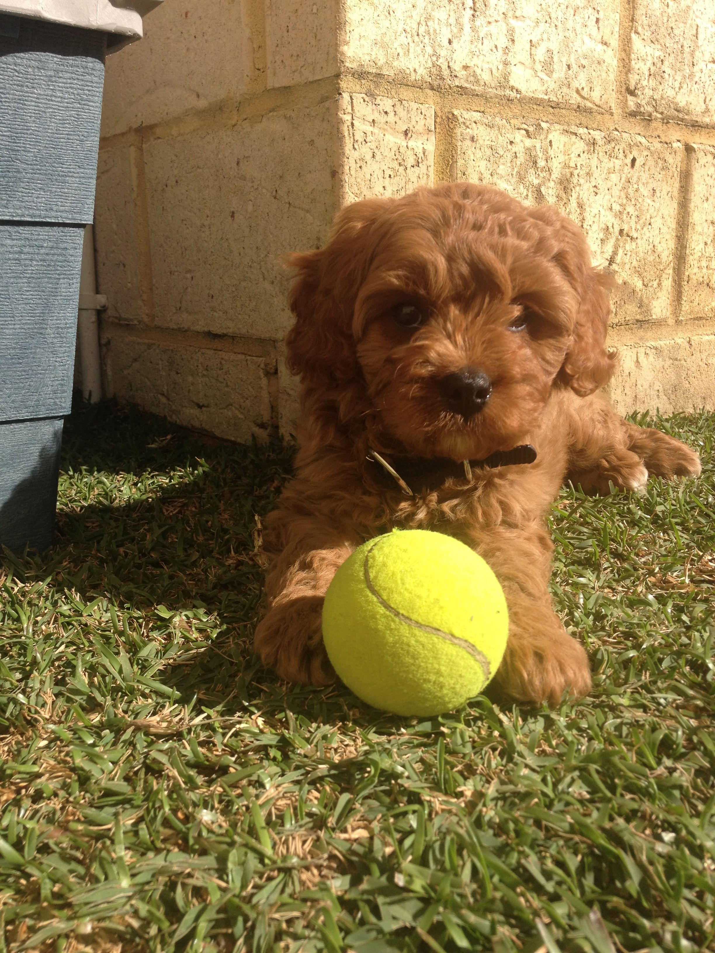 My 8 week old cavoodle and his tennis ball. Doodle dog