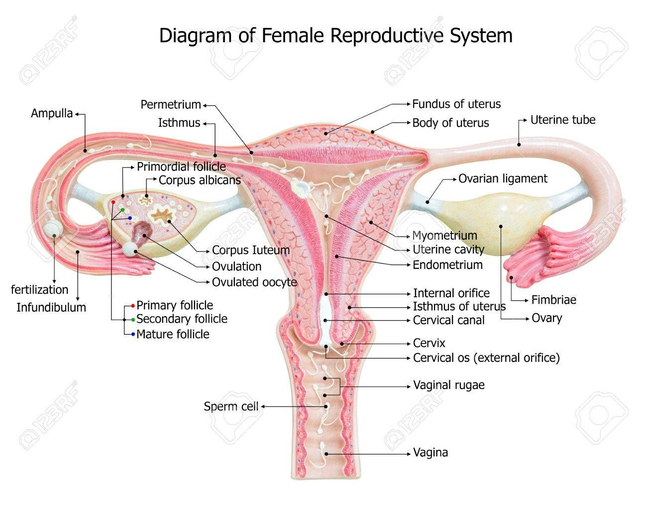 Image Of Female Reproductive System Diagram Image Of Female Reprodu Reproductive System Project Female Reproductive System Female Reproductive System Anatomy