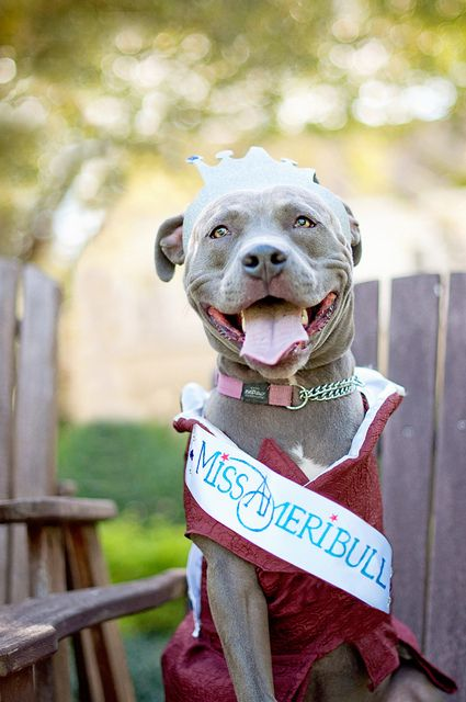 Miss Ameribull Pittie All Dogs I Love Best And Puppies