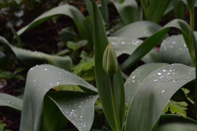 Tulppaanin nuppua sateisena aamuna