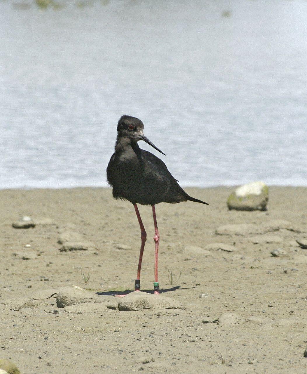 Szczudłak czarny Wikipedia, wolna encyklopedia Birds