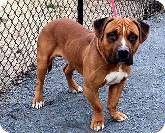 Atlanta Ga Basset Hound Mastiff Mix Meet Mack A Dog For
