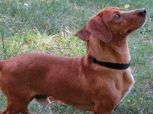 Hobson Is An Adoptable Dachshund Dog In North Smithfield Ri
