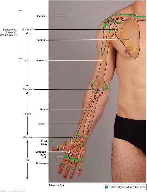 Duke Anatomy - Lab 2 Pre-Lab Exercise | HumerusRadiusUlna | Pinterest