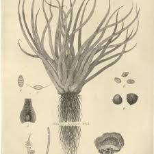 botanical illustration scientific - Google Search