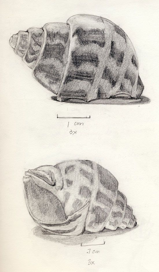 Pencil Drawings Of Seashells Drawing sea shells by the sea