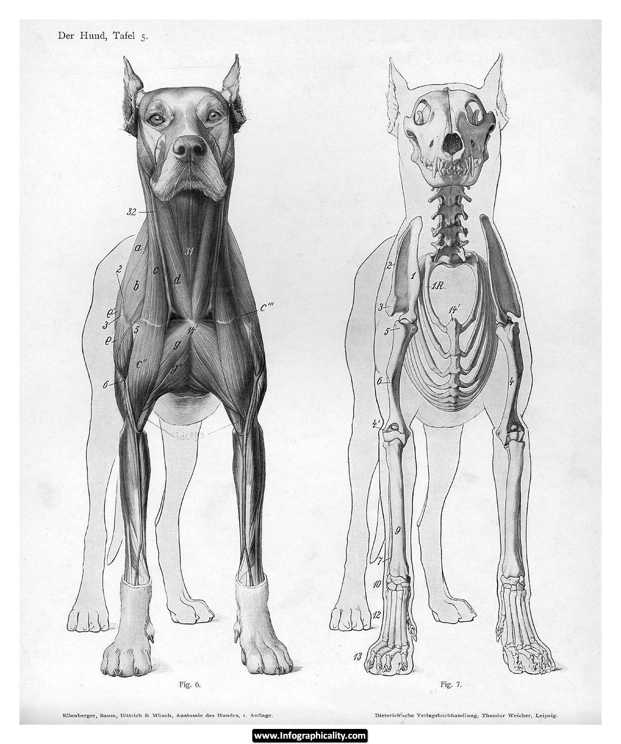 Dog Bones Infographic | Learn more about dogs | Pinterest | Dog ...