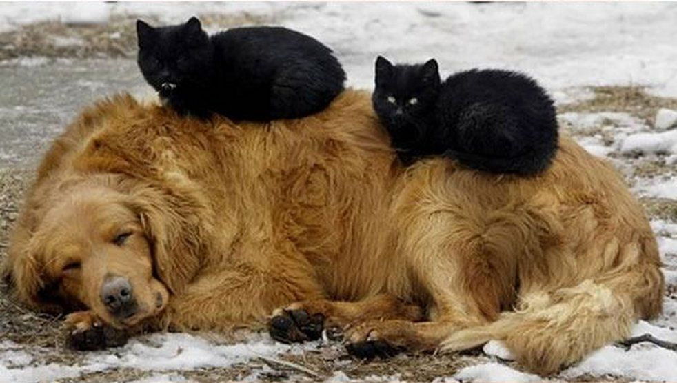 Fluffy mad black cats resting on golden retriever dog
