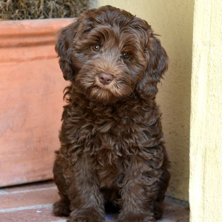 Dolce Vita Labradoodles On Instagram Our Sweet Penny Another