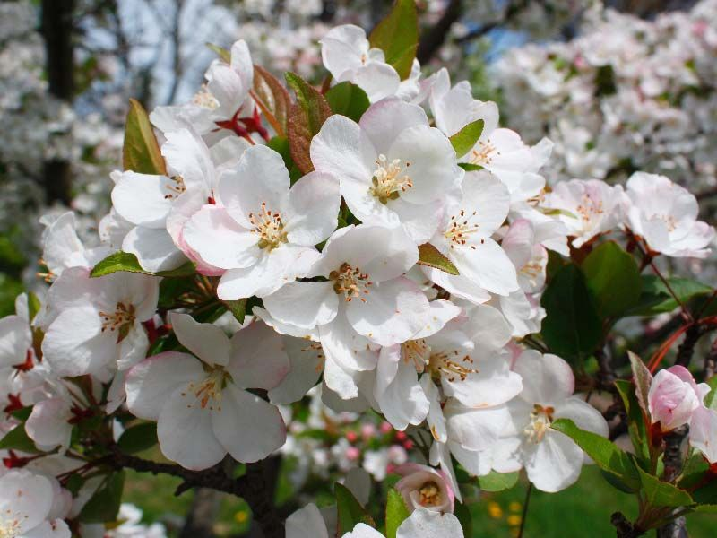 Wonderful apple blossom good for our selfmade apple juice wonderful apple blossom good for our selfmade apple juice holidays at the farm in upper austriahinterstoder pinterest apple juice and austria mightylinksfo