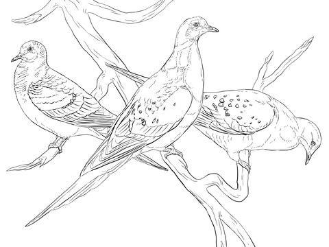 Palomas Migratorias Dibujo para colorear pjaros y aves