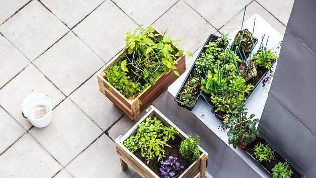 Kaupasta ostetut ruukkuyrtit voi istuttaa vaikka parvekelaatikoihin.