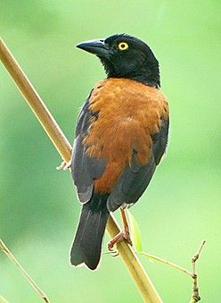 The Striking Castaneofuscus West African Form Of Vieillots Black Weaver Sierra Leone