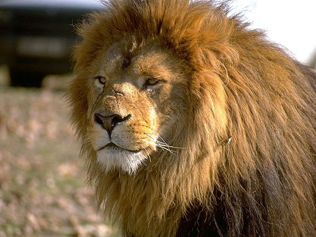 Male Lion Wallpapers Animals Beautiful Lion Wallpaper Animal Wallpaper
