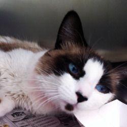 Adopt Mason On Snowshoe Cat Cool Cats Cats