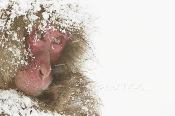 Japanese Macaque (Macaca fuscata) adult female and baby, close-up of heads, cuddling during heavy snow, near Nagano, Honshu, Japan, February