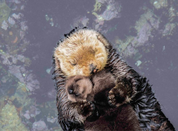 Day Old Otter Pup Falls Soundly Asleep On Top Of Her Floating Mom At The Monterey Bay Aquarium Baby Otters Otters Otter Pup