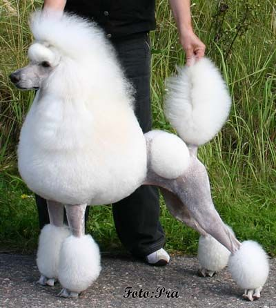 Google image result for httpkotinetmartinaspicsesperanza google image result for httpkotinetmartinas poodle groomingdog winobraniefo Image collections