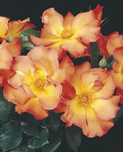 Playboy Floribunda Rose