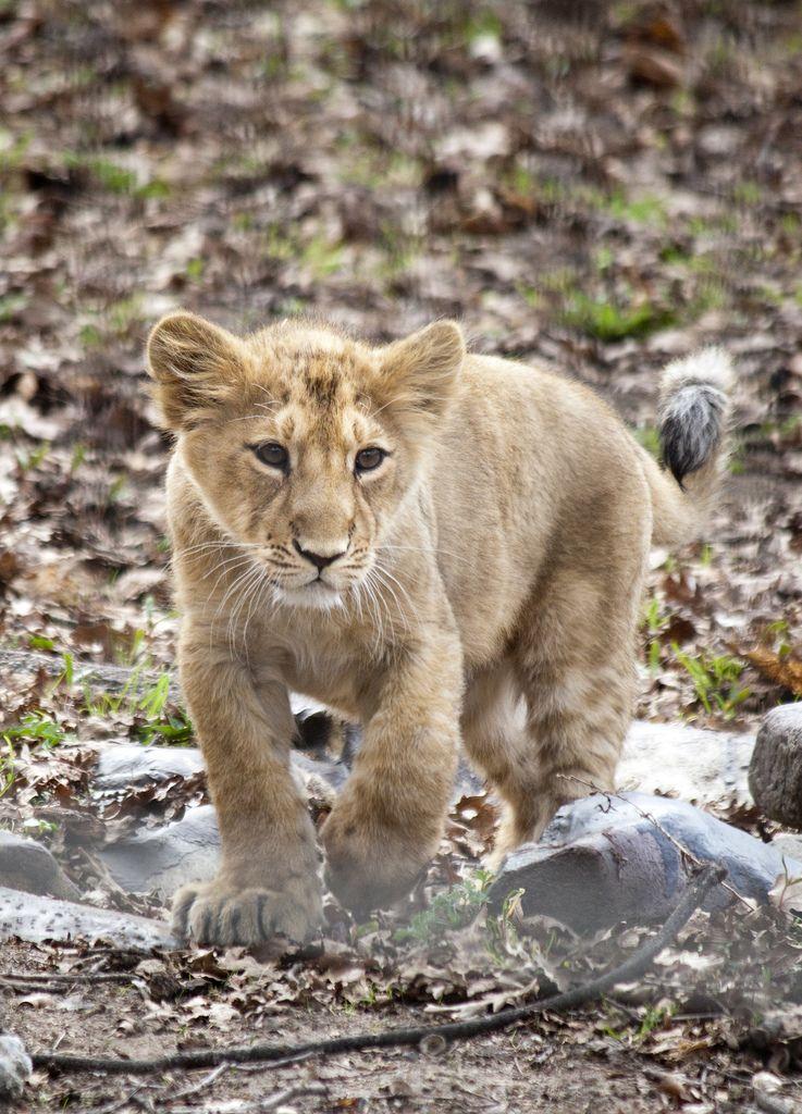 Asian lion cub, Korkeasaari Zoo, Finland
