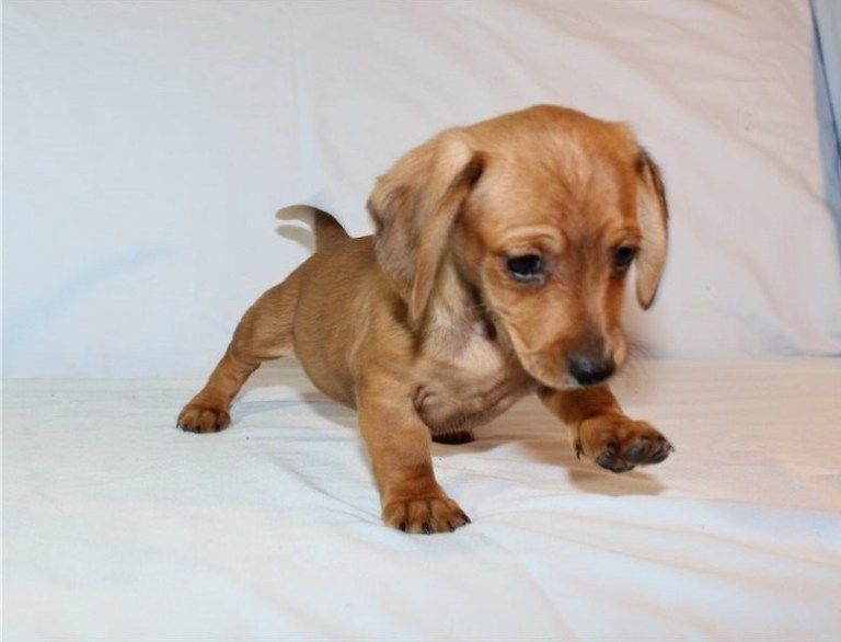 Available Puppies Dachshund Dogs For Sale Puppies Dachshund