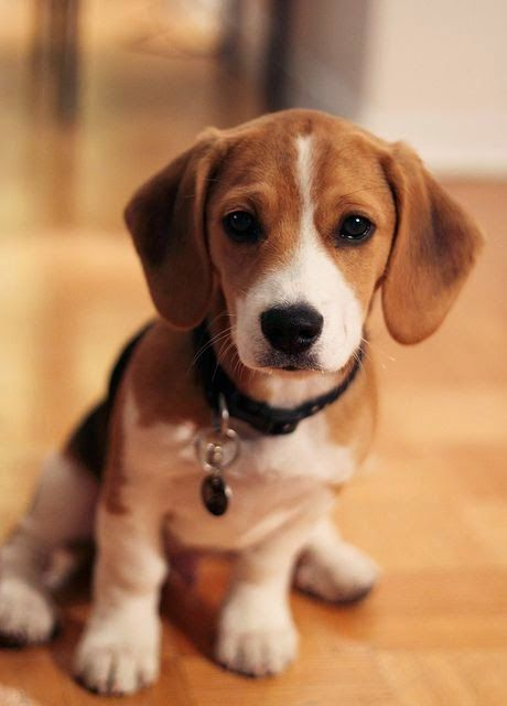 Top 5 Longest Living Dog Breeds The Beagle Is A Breed Of Small To