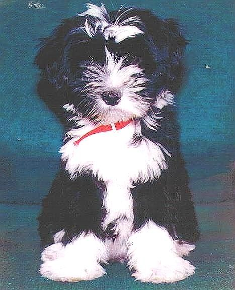 Kildare Tibetan Terriers Puppy Page With Images Tibetan