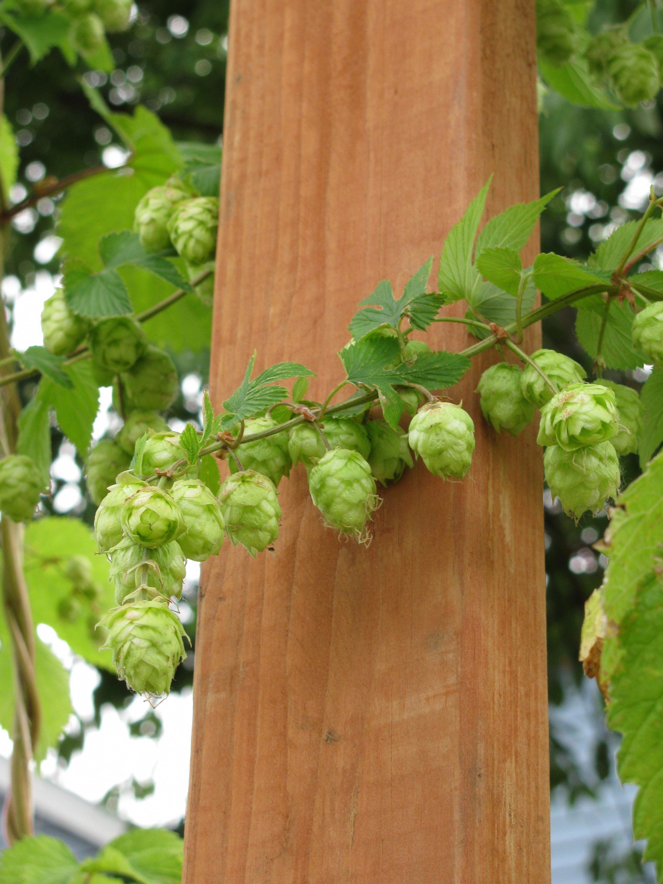 Growing hops to make your own beer homebrewingbeer hops