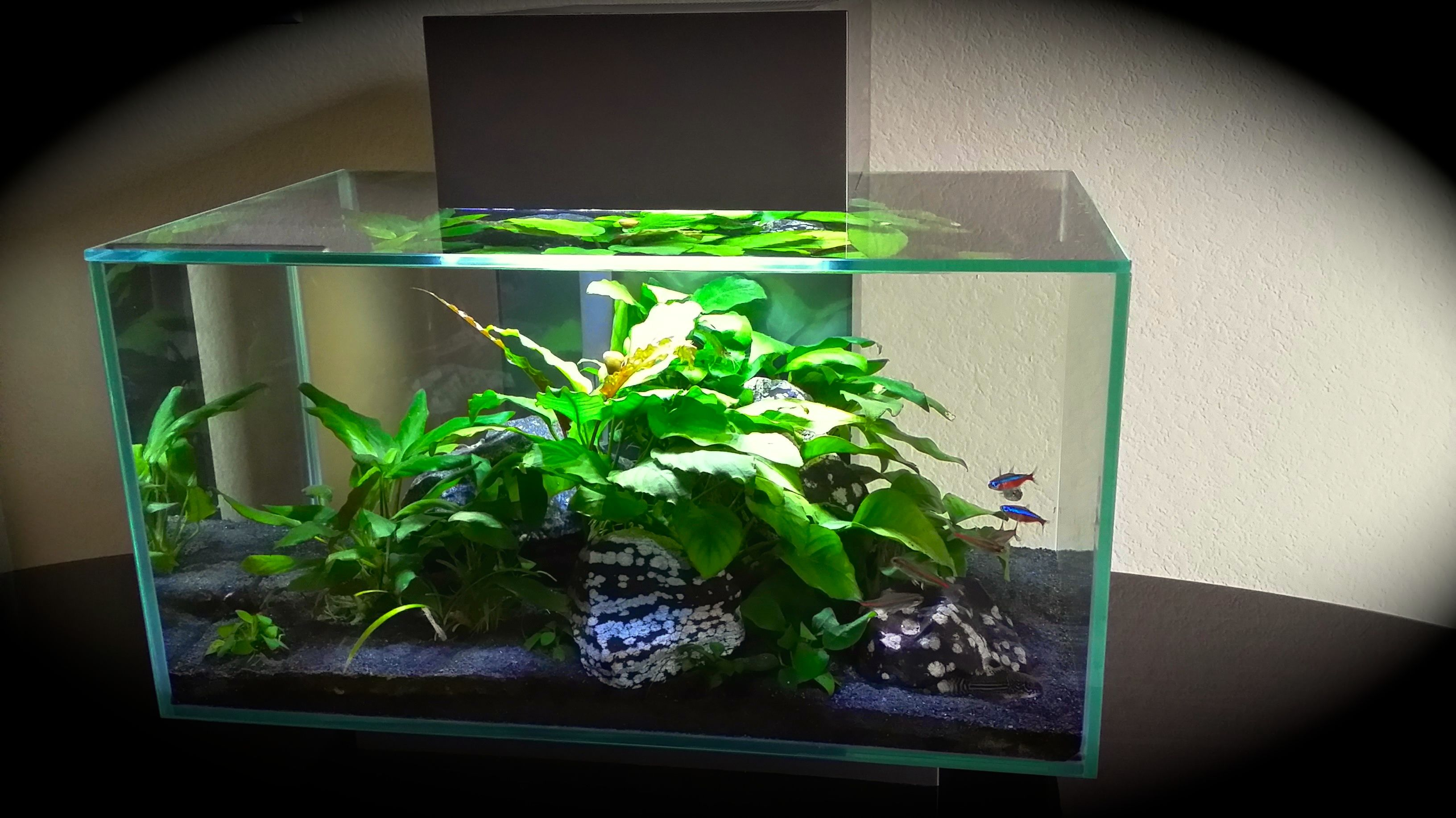 my fluval edge 6 gallon planted tank low tech with anubias as the focal plant and locally. Black Bedroom Furniture Sets. Home Design Ideas
