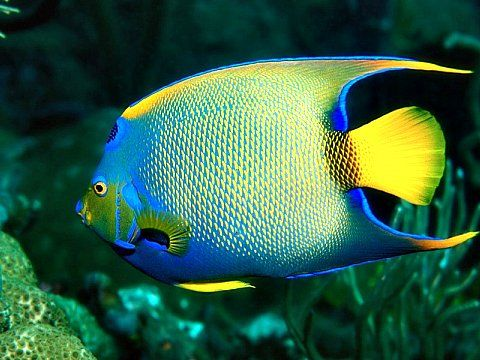 brilliantly colored queen angelfish thrive in the warm water off the