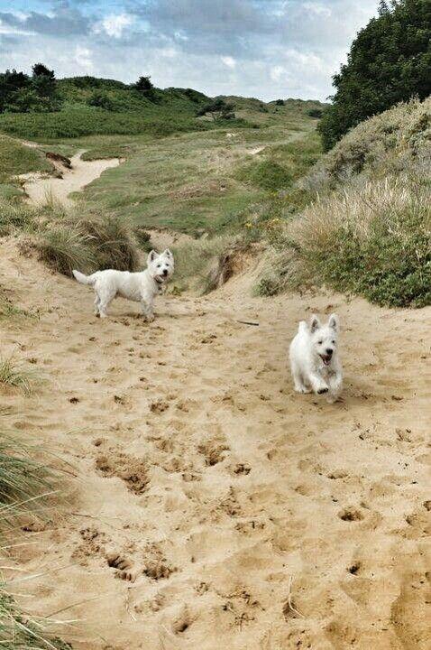 Merthyr Mawr De Cymru White Terrier West Highland White
