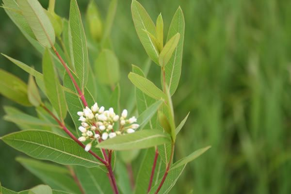 Apocynum Cannabinum Dogbane Plants Prairie Planting Small