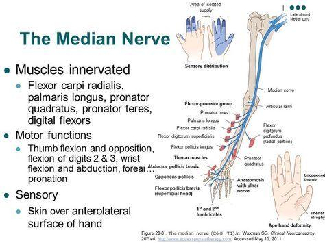 Median Nerve Anatomy Diagram - Wiring Diagram For Light Switch •