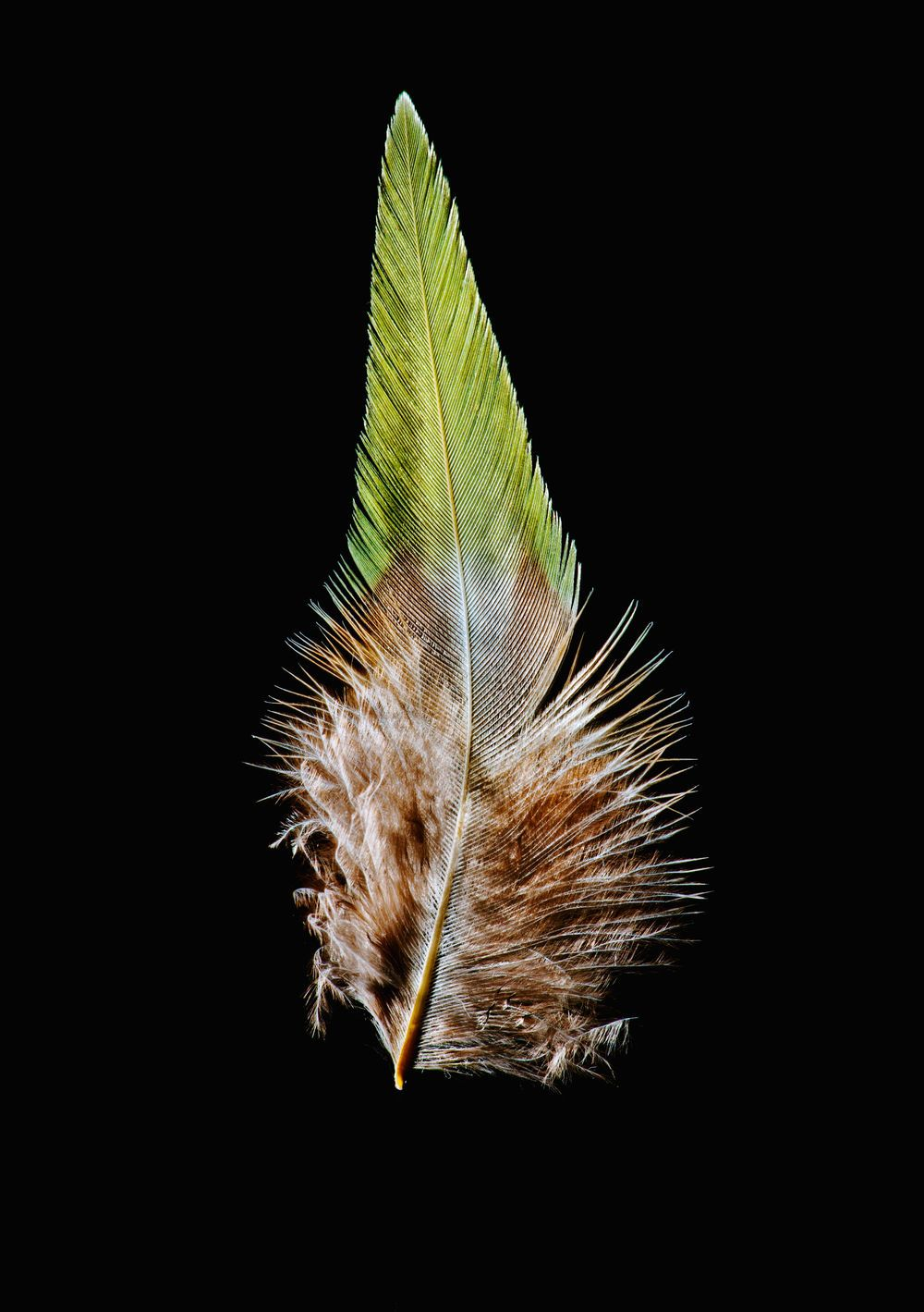 The blood pheasant's feather is a lovely green