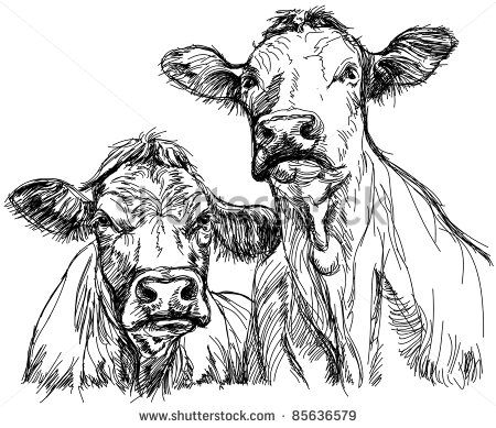 Beef Cattle Stock Photos Images Pictures