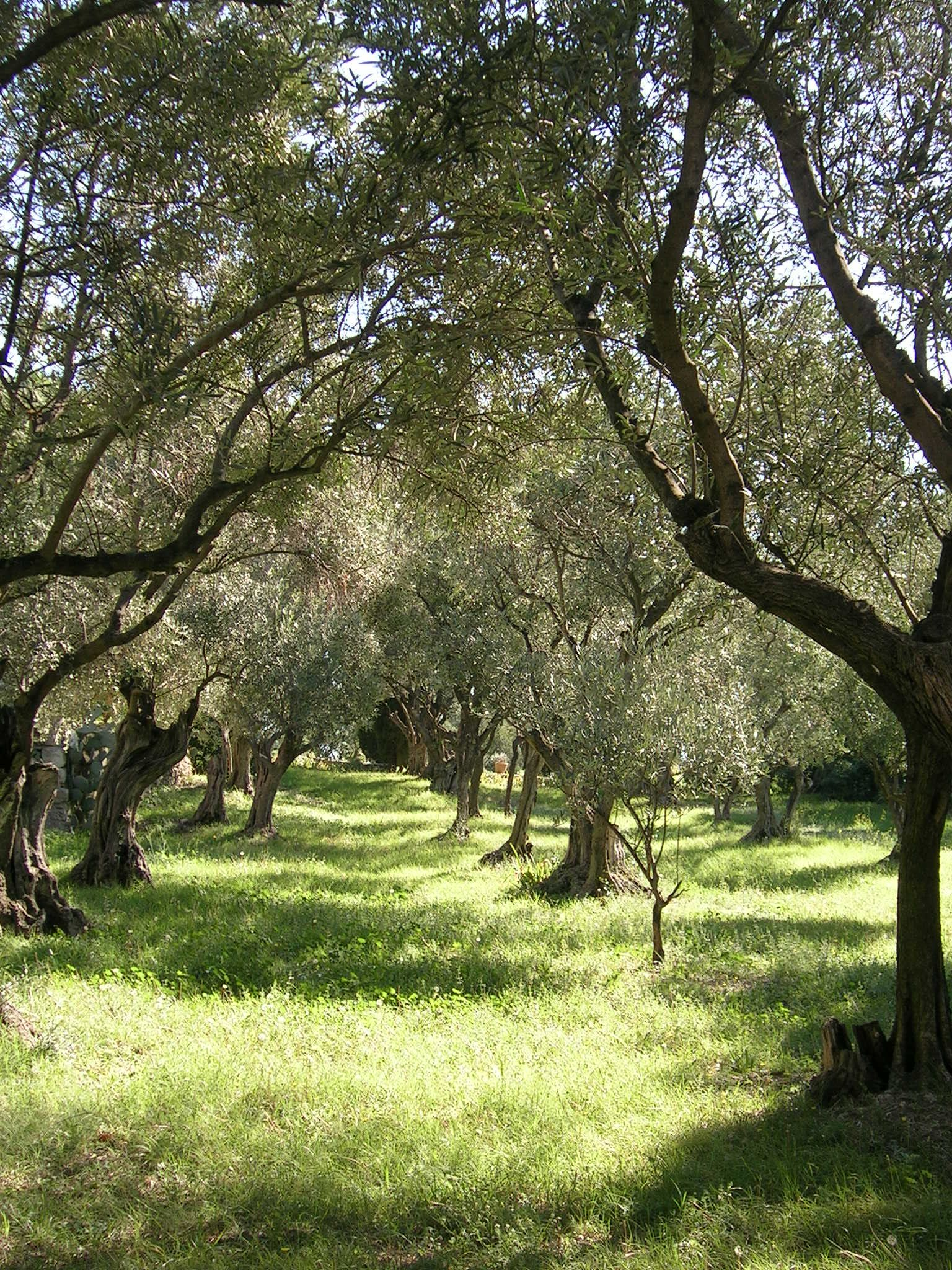 Olive grove, near Avignon, France Tree