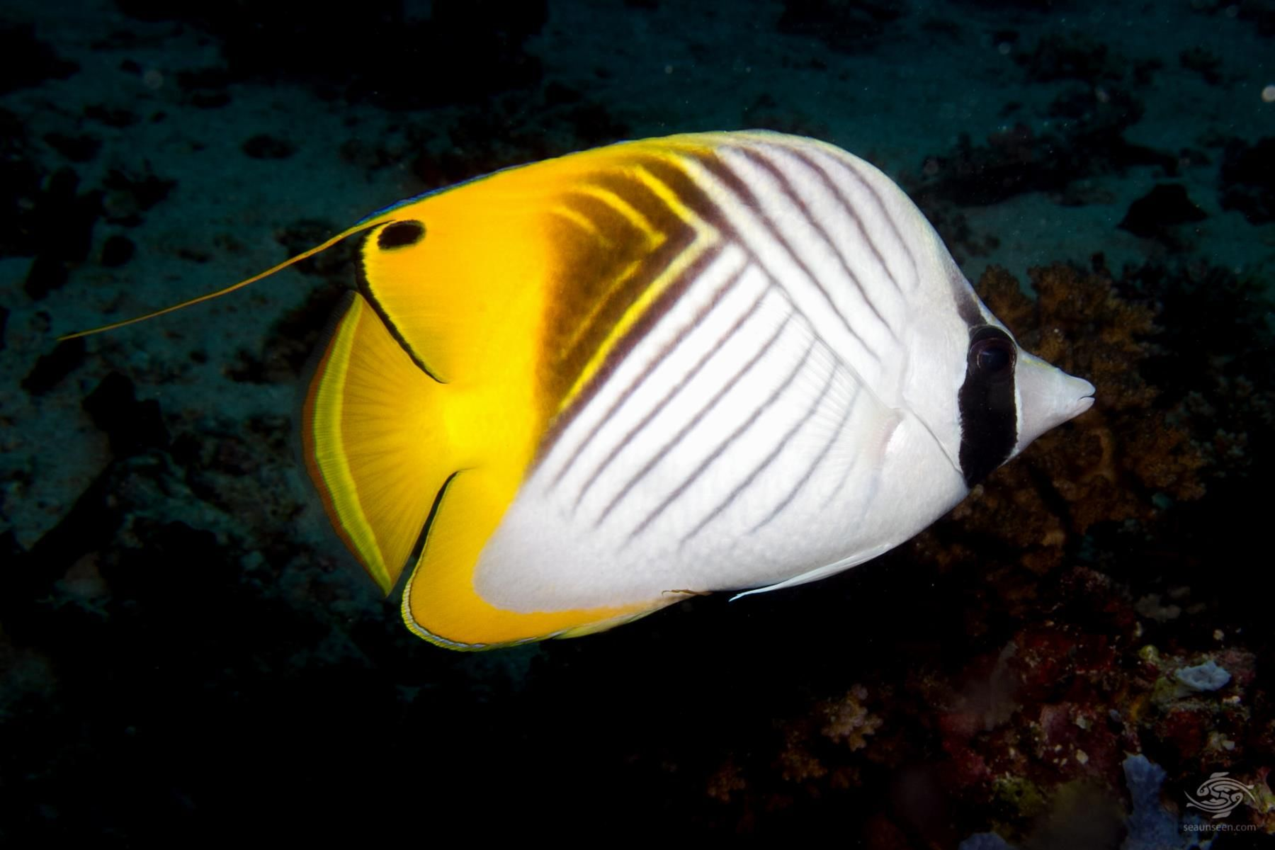 Threadfin Butterflyfish Beautiful Fish Butterfly Fish Tropical Freshwater Fish