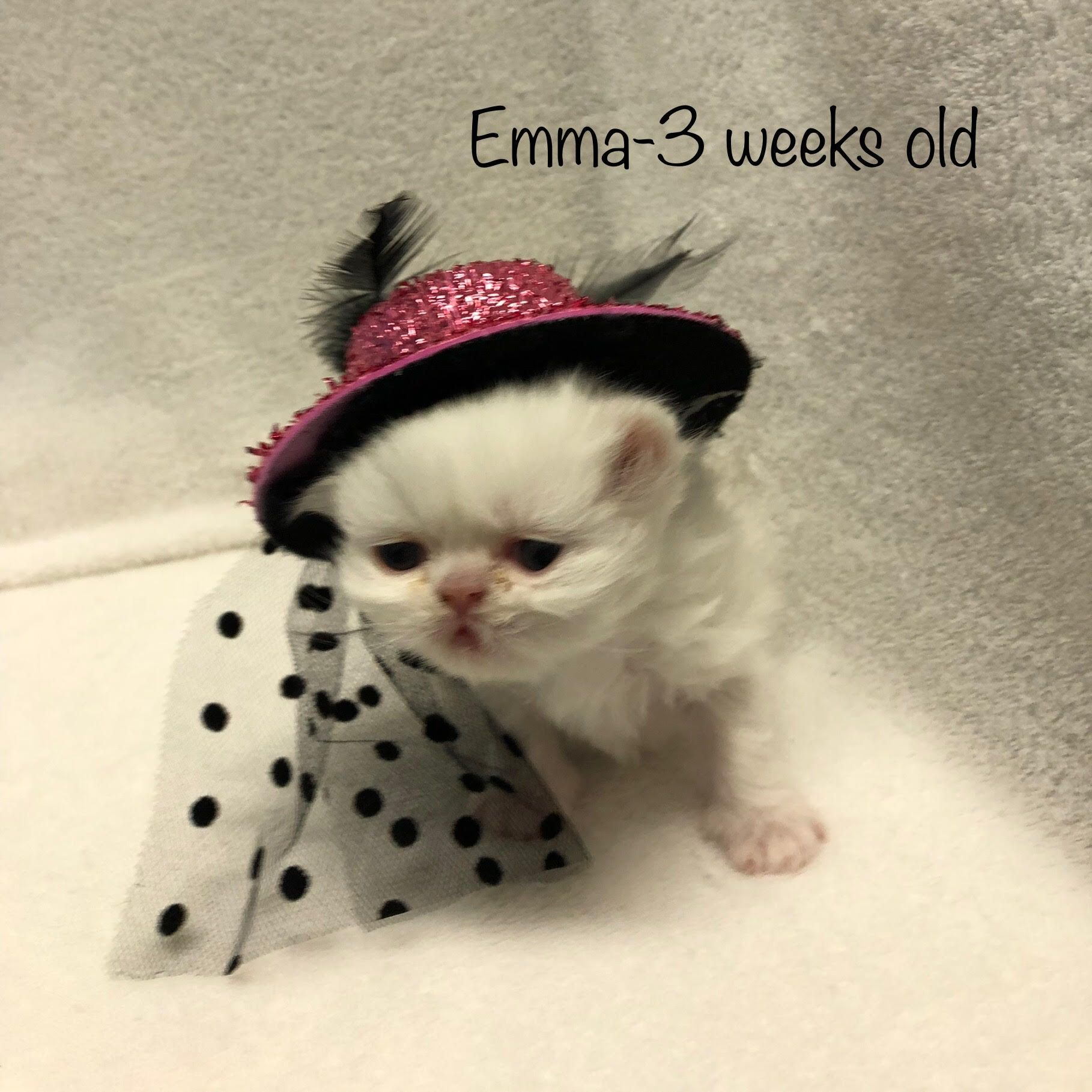 Pin by Kitty Cature Cattery on Gallery of Persian kittens