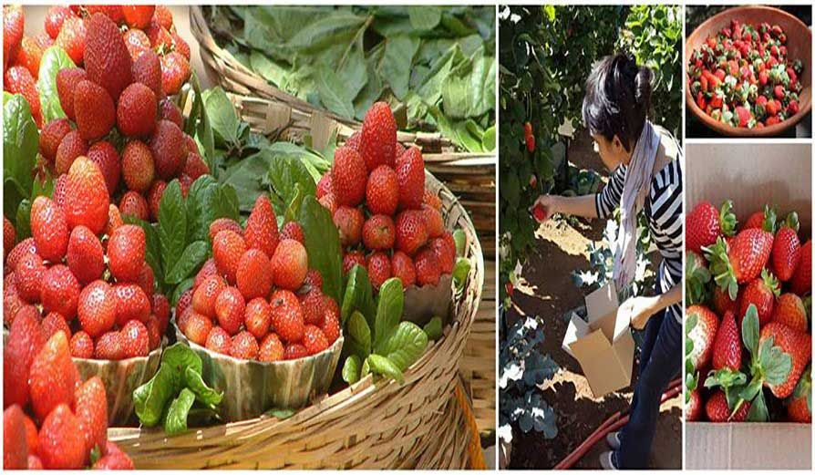 Beauitful Panchgani for strawberry picking & tasting